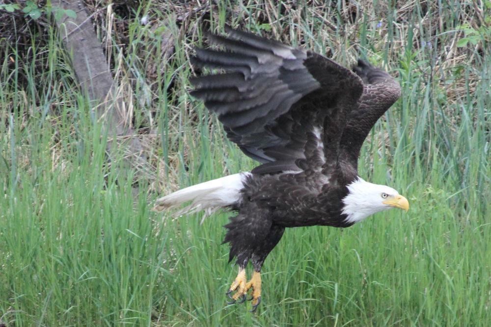 Alaska Birding, Birdwatching Tours - Alaskan Gamefisher