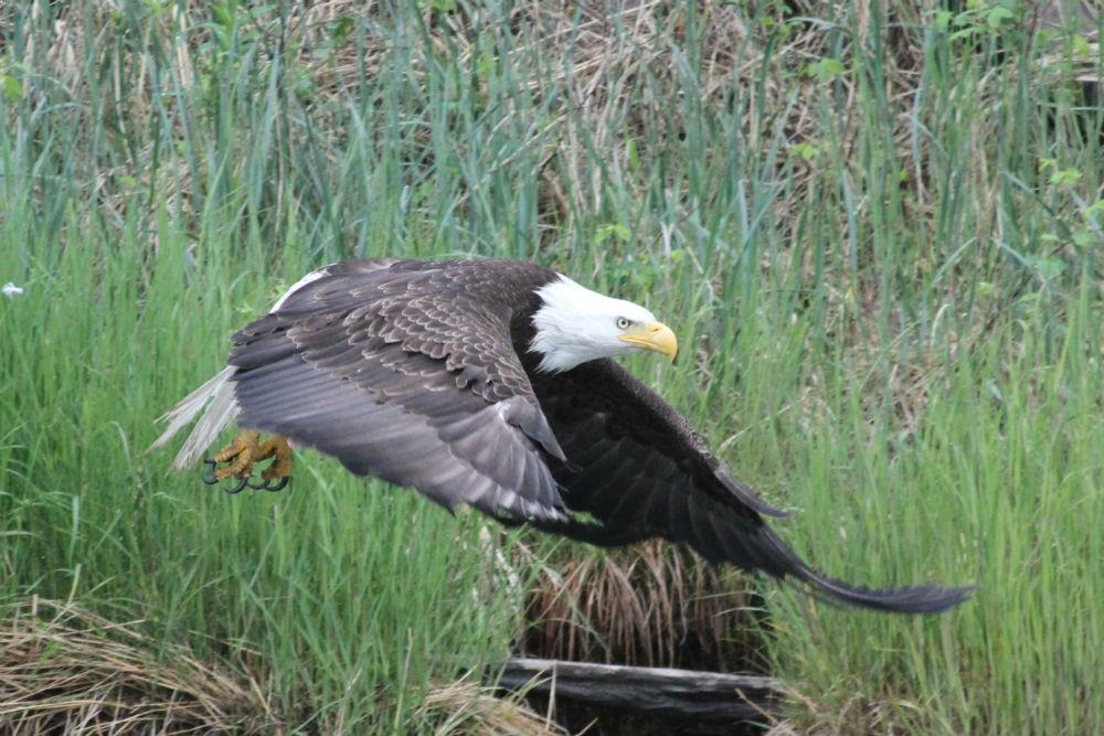 WINGS Birding Tours to Alaska: Majesty of the North ...